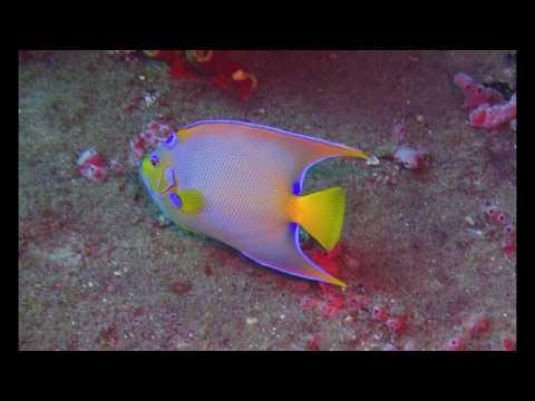 Guadeloupe, Bouillante - Plongées dans la Réserve Cousteau
