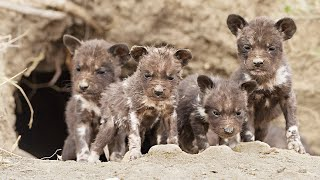Wild Dog Puppies Emerge for the First Time - Super Cute!
