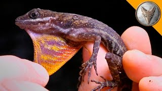 Mysterious Water Anole