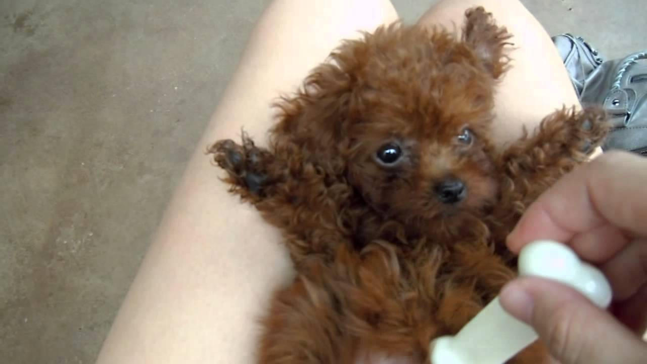 Kara, the red teacup baby poodle - YouTube  Kara, the red t...