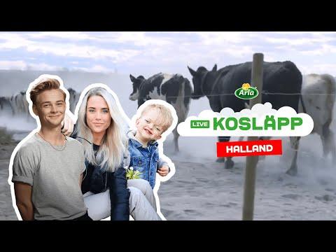 Digitalt Kosläpp på Arlagård i Halland
