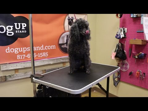 Miniature Poodle Live Groom