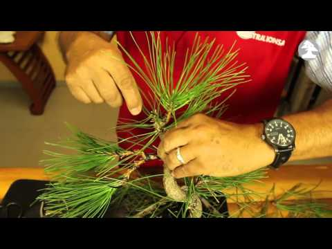 Mistral Bonsai - Trabajos de formación: Pinus thunbergii