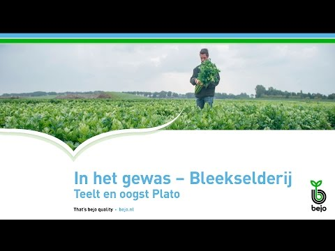 BEJO | In het gewas - Bleekselderij | Teelt en oogst Plato