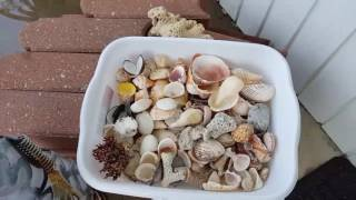 How to clean your shells you collected from the beach