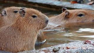 Four baby capybaras are in hot spa