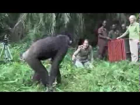 Was dieser Schimpanse macht Das muß man gesehen haben