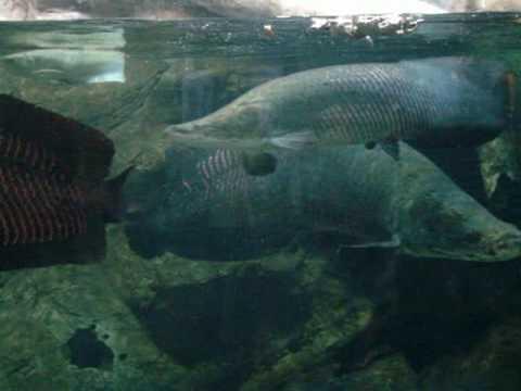 台中科博館~亞馬遜河魚餵食秀(象魚)
