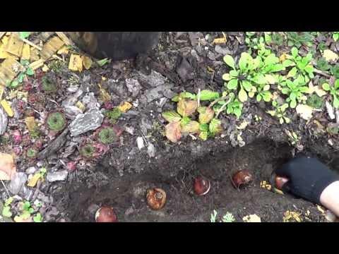 Jak sadzić cebulki