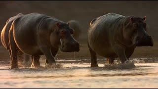 Ataque Hipopótamos a Cocodrilos
