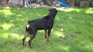 Rottweiler Dog Food In Hindi