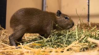 New Baby Capybara!