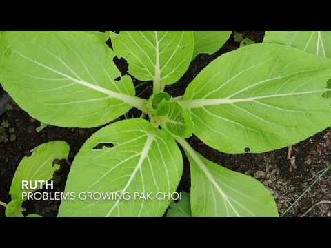 Growing pak choi in the UK