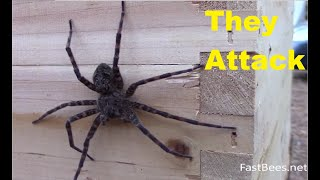 Huge fishing spider was attacked by honey bee colony. Original HD video