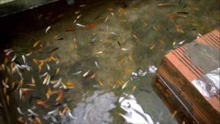 Bán cá kiểng giàu hay không tùy vào mỗi người | BETTA COFFY