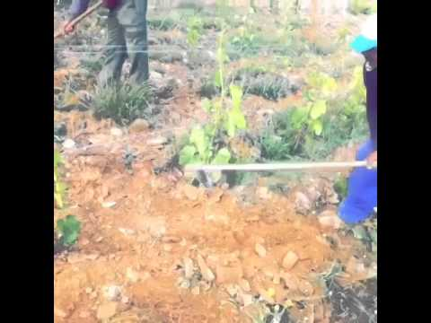 Organic vineyard - weed management