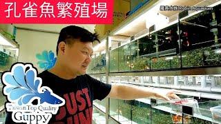 孔雀魚系統魚缸大保養 幫孔雀魚搬家 孔雀魚坊種源中心
