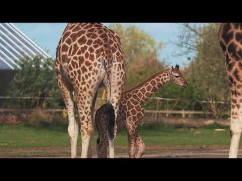 Chester Zoo's rare giraffe calf Narus, at just a few days old, takes his first steps outside...