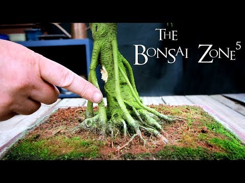 My Aloe Bonsai and More, Part 3, The Bonsai Zone, Aug 2018