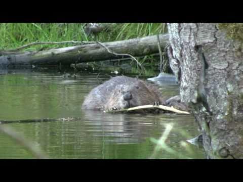 Biber Paradies, Beaver paradies (von Hermann Popp)