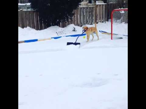 Работите околу куќата ќе беа 100 пати полесни да си имавме сите по едно вакво куче