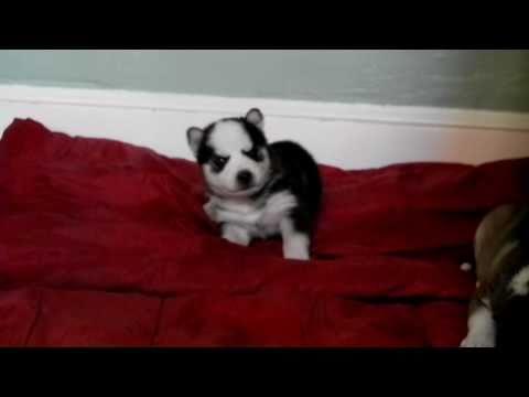 Howling Husky Pup