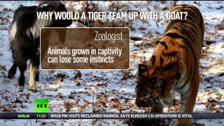 RT-Tiger, goat strike friendship in Russian Zoo; To act in..