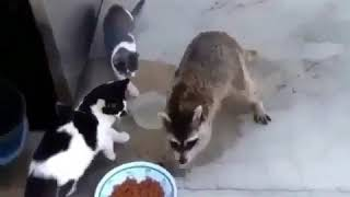 Raccoon steals cats food right in front of them