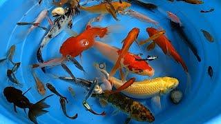 Betta Koi Pleco Snail Carp Fish Goldfish Angelfish Guppy Guppies Catfish animals Videos