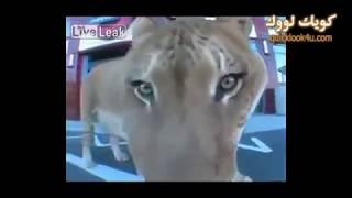 اكبر قط في العالم تهجين اسد ونمرة - YouTube