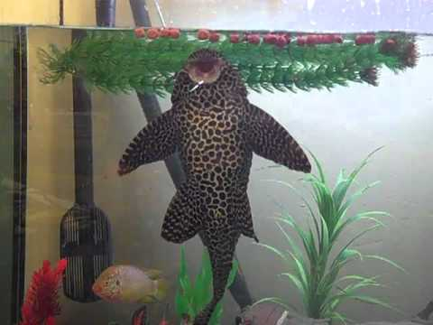 Largest Spotted Pleco Related Keywords Suggestions Largest