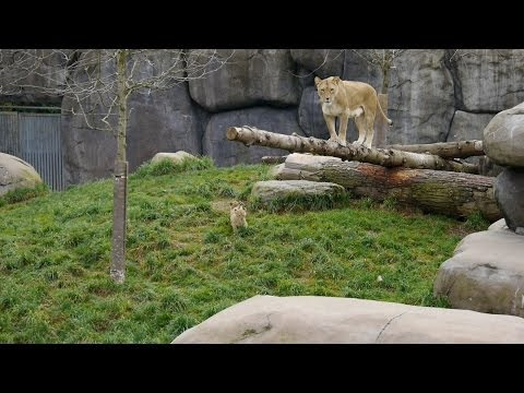 Lion cubs at Oregon Zoo in 3D