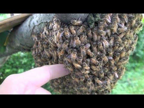 Wsadził rękę w rój pszczół!