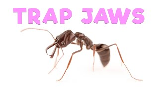 Ant Room Tour | Trap Jaw Ants