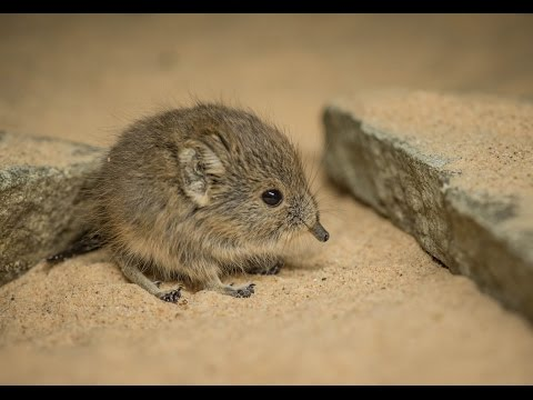 Twin sengi have been born... and they're completely adorable!