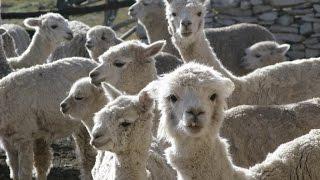 Crianza de alpacas; Herencia Inca. (Perú) - TvAgro por Juan Gonzalo Angel
