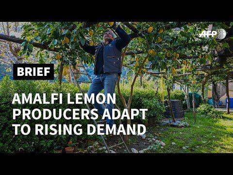 Amalfi lemon production adapts with success to virus as demand for fruit rises   AFP photo