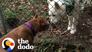 Pittie Wasn't Allowed Around Dogs Becomes Best Friends With Dog Neighbor | The Dodo Pittie Nation