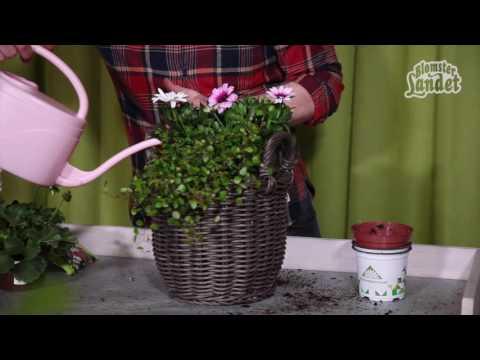 Plantera i kruka med sommarblommor