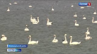 На озере Круглое в Исилькульском районе небывалое скопление лебедей-шипунов