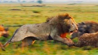 Ozzy Man Reviews: Lion vs Hyenas