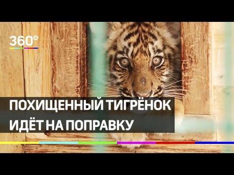 Судьба тигрёнка: пострадавший от рук похитителя Гектор идёт на поправку photo