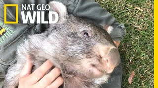 George the Wombat Begins New Life in the Wild | Nat Geo Wild