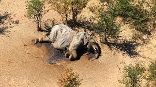 Botswana identifies likely culprit of mass elephant die-off