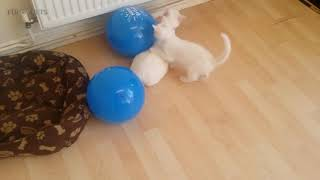 Awesome Cats 😸🎈Funny Cute Cats vs Balloons Full Funny Pets