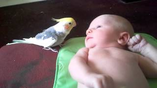 Cockatiel sings to baby