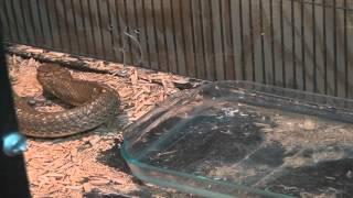 Elvis Furlough & Curious Forest Cobra