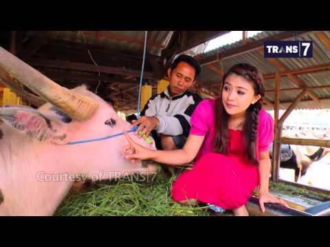 RSAP Trans7 - Toraja Tongkonan dan Tedong