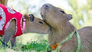 JoeJoe meets Sweetie the Capybara for the first time