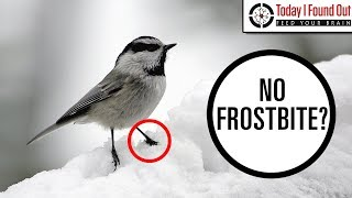 Why Don't Birds' Legs Freeze